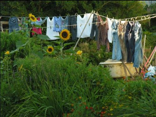 washing line_sunflowers