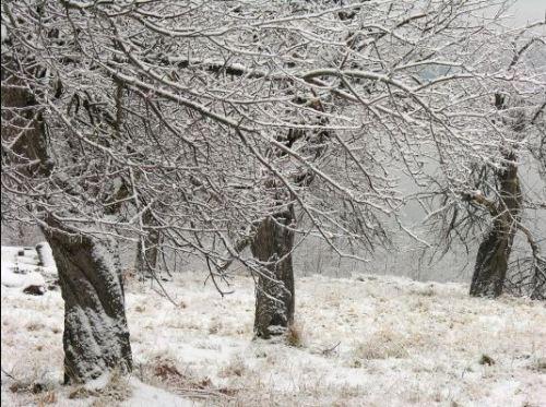 winter crabapple trees