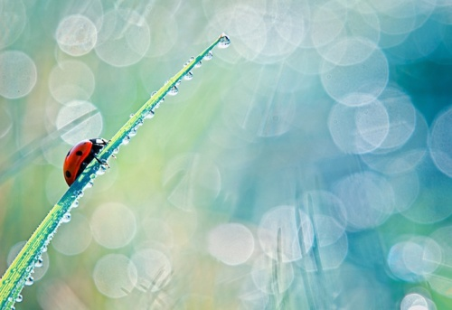 Bloas Maven ladybug photography 1