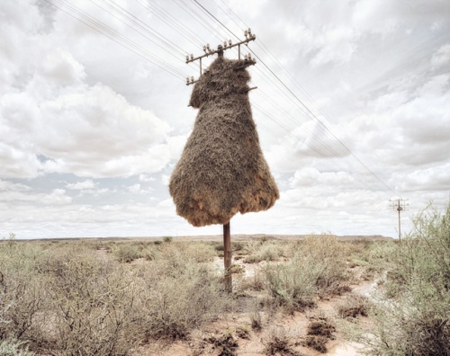 dillon marsh weaver bird nest 1